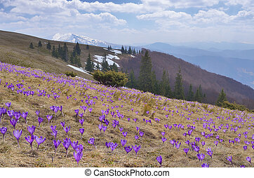 Field of blooming crocus in the mountains