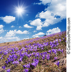 Field of blooming crocus