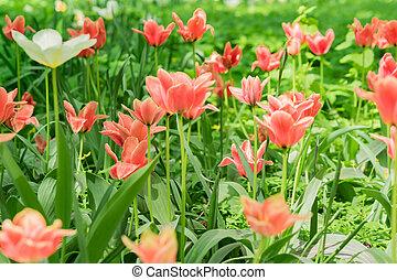 Field of blooming pink tulips. Flower background. Summer garden landscape. Soft focus