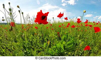 Field of blooming poppies - Field of waving blooming poppies...