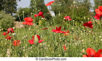 field of blooming poppies