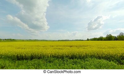 field of blooming rapeseed