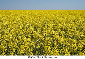 Field of blooming rapeseed