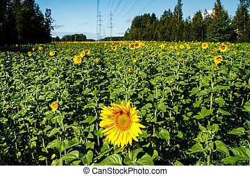 Field of blooming sunflowers on a background of blue sky and power line