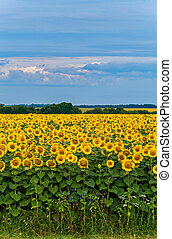 field of blooming sunflowers on a cloudy day