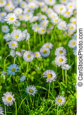 Field of blossoming daisies, close up