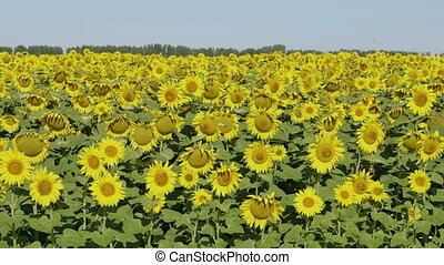 Field of blossoming sunflowers against the blue sky