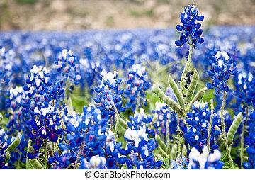 Field of Bluebonnets witn Soft Focus - A field of...