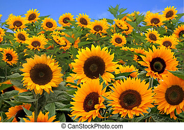 Field of Bright Happy Sunflowers