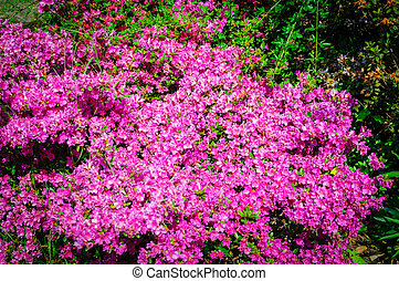 Field of bright pink rhododendrons blooming, rhododendron flowers
