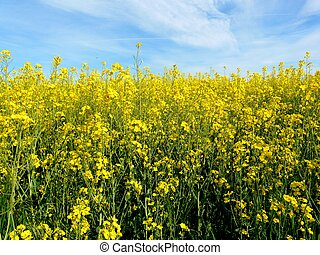 Field of bright yellow canola