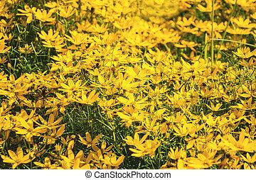 Field of bright yellow daisies.