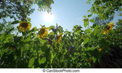 Field of bright yellow ripe sunflowers. Rural scene in sunny...
