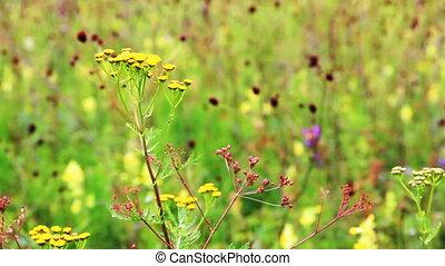 Field of burnet flowers