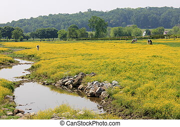 Field of buttercups and stream