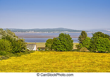A field of Spring Buttercups in Grange-over Sands, with Morecambe Bay in the background and a white house.