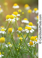 Field of camomile flowers. Close up.