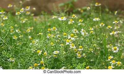 field of camomile