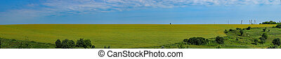 Field of canola panorama