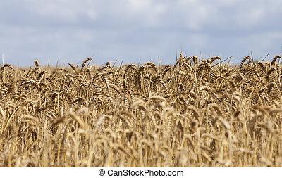 Field of Cereals