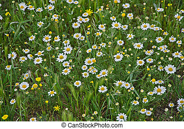 Field of chamomile (scented mayweed)
