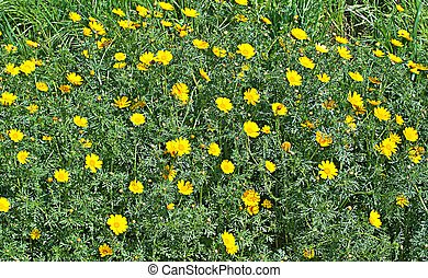 Field of chamomile
