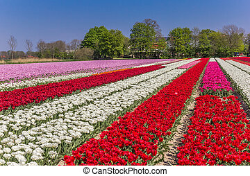 Field of colorful dutch tulips in the springtime