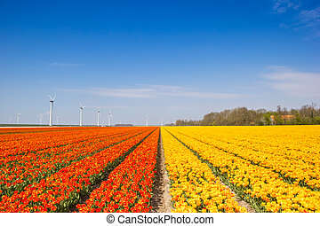 Field of colorful orange and yellow tulips in spring in The Netherlands