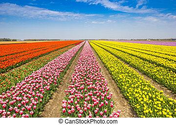 Field of colorful red and yellow tulips in Noordoostpolder