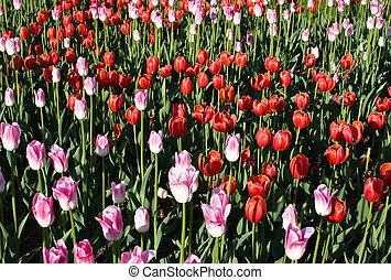 Field of colorful tulips blooming