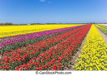 Field of colorful tulips in Noordoostpolder
