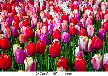 Field of colorful tulips
