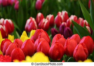 field of colorfull tulips