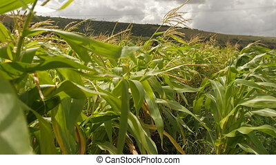 Field of corn at summer - Green field of young corn