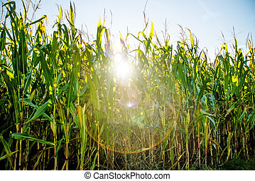 field of corn in back light