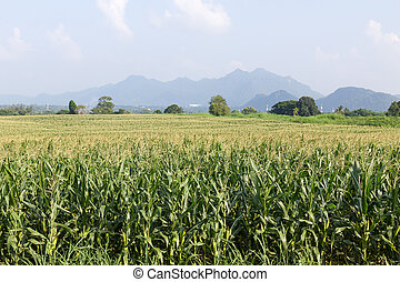 Field of corn ready for harvest