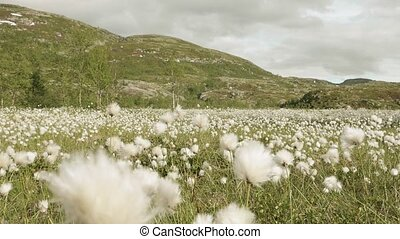 Field of cotton in the mountain. Norway