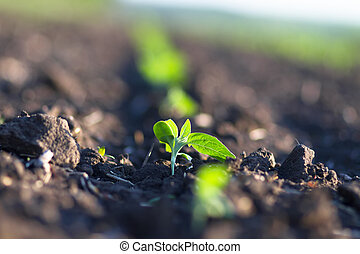 Field of crops become ripe under the sun - Crops planted in ...