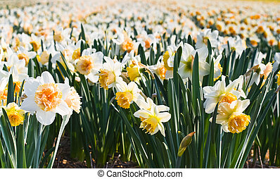 Field of daffodils in close view