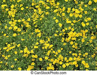 Field of Dahlberg daisy in the garden