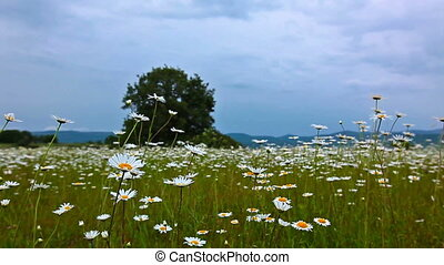 field of daisies and cloudy sky