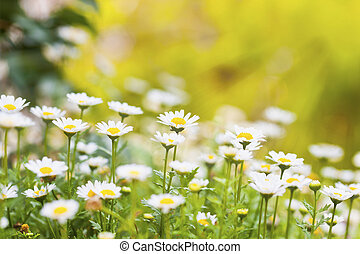 Field of daisies and sun