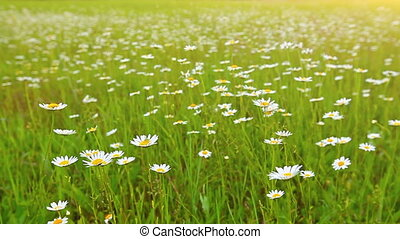 field of daisies at sunset
