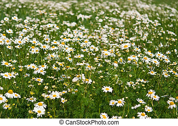 Field of daisies, the concept of nature, purity and prosperity