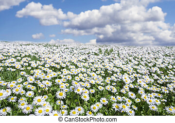 field of daisies with partially cloudy sky