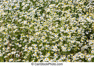 Field of daisy, background of blossom flowers