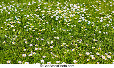 field of daisy flowers.  flower meadow