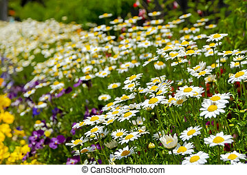 field of daisy flowers in japanese garden