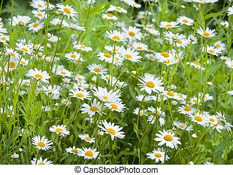 field of daisy in summer