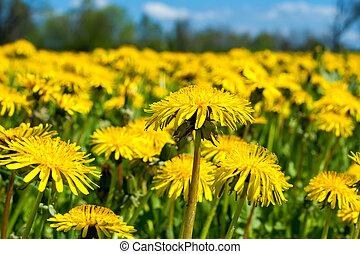 Field of dandelions - Close up of spring dandelion field...